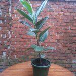 Ficus elástico (Gomero)
